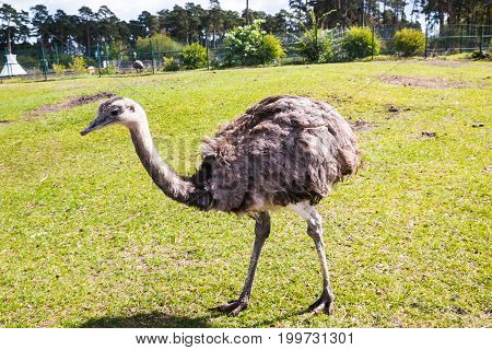 Ostrich At The Zoo In A Summer