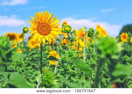 Field of sunflowers and blue sky in summer sunny day. Benefit of sunflower oil. Healthy food. Picturesque landscape. Agricultural business.