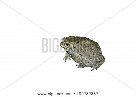 toad swelling isolated in the white background