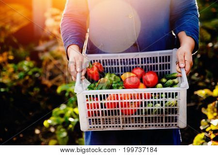 Close-up of a farmer holding a basket of a box of vegetables: green cucumbers, red and yellow tomatoes, peppers, chili peppers. Concept harvesting in autumn, eco-farm.