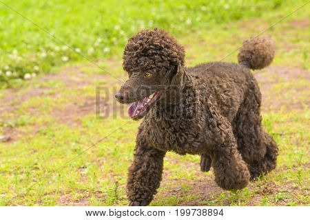 Poodle runs on the grass opening his mouth, green background. Space under the text. 2018 year of the dog in the eastern calendar Concept: parodist dogs, dog friend of man, true friends, rescuers.