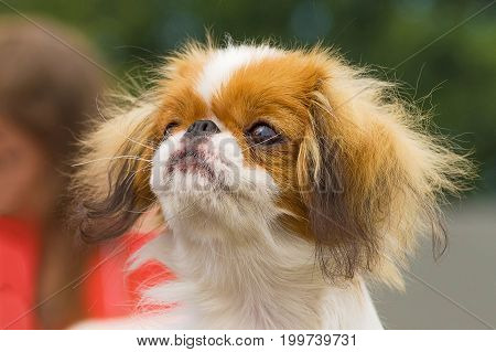 Japanese chin, green background. Space under the text. 2018 year of the dog in the eastern calendar Concept: parodist dogs, dog friend of man, true friends, rescuers.