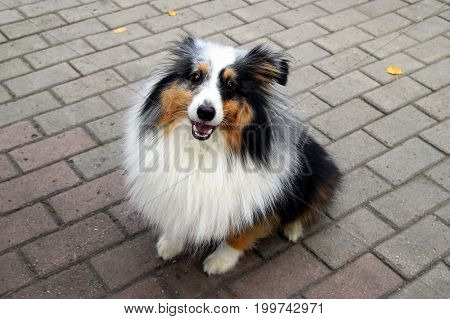 Happy Collie Dog Is Walking In A Park.