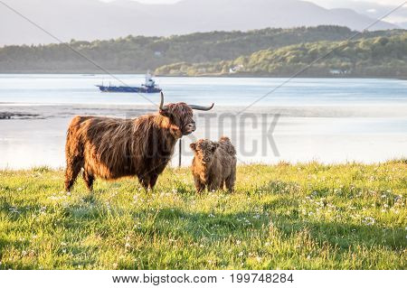 Highland cow with a scottish loch in the background, United Kingdom