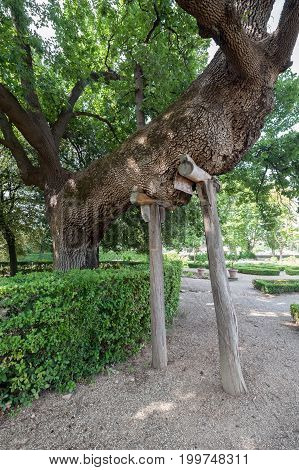 Castello Firenze ITALY - July 7 2017: a centuries old oak with support poles in the formal garden of Villa La Petraia.
