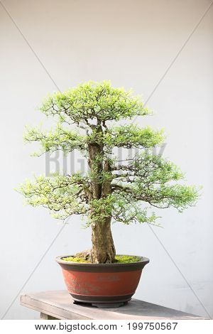 Bonsai tree against white wall in a chinese park, China
