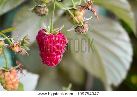 Ripe Berry Of A Raspberry On A Branch, Amid The Raspberry Bushes And Young Raspberry