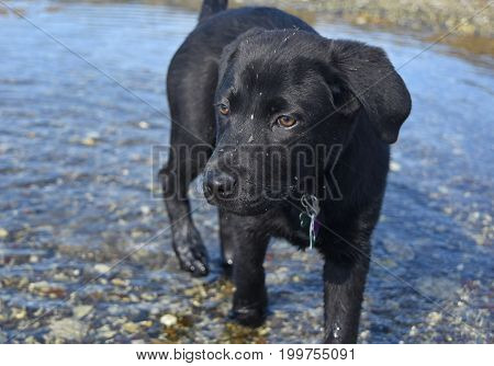 Black lab puppy dog playing in shallow water with mud on his face.