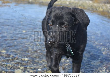 Drops of mud splashed on the face of a black labrador retriever puppy dog.