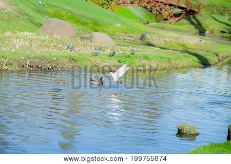 Pigeon flies over a floating duck in the river, in a park on a sunny day
