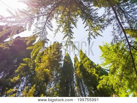 View of coniferous trees' crowns: cypresses pines - against summer sunny sky. Nikitsky Botanic garden (Crimea Russia). Plant natural attractive background