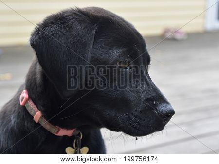 Beautiful profile of a black lab puppy dog.