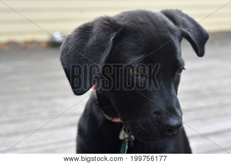 Super cute face of a black labrador puppy dog.