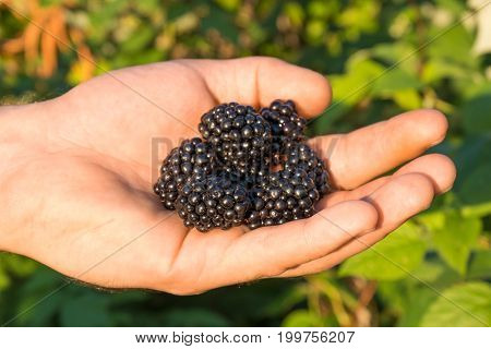 Blackberry Berries Black In Human Hands On The Background Of Blackberry Bushes.