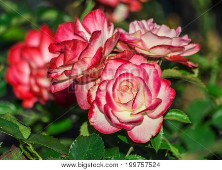 rose flower grade jubile du prince de monaco, flowers large, terry, three in bloom on a bush, white-cream petals edged with a delicate crimson fringe, sunny day, summer, close-up,