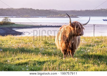 Highland cow with a scottish loch in the background during sunset