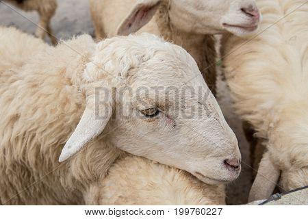 White sheep on the farm closeup head