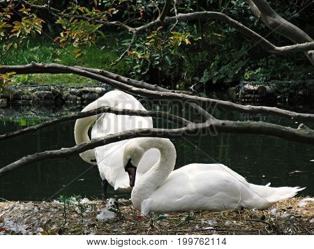 Two beautiful swans on an island in the lake rest day