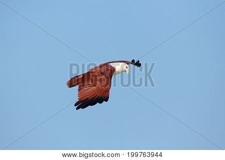 Indian eagle flying in the sky India