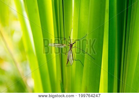 A female Mosquito on a blades of reed