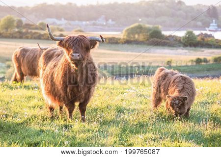 Swarm of midges attacking highland cows during sunset