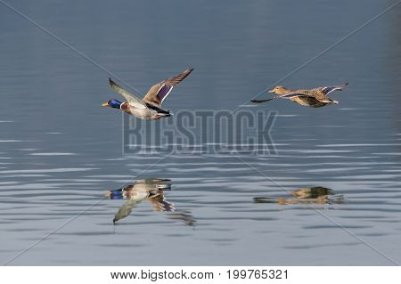 Pair Of Mallard Ducks (anas Platyrhynchos) Flying Over Water Surface