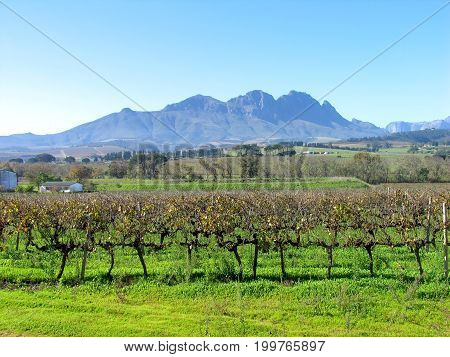 FROM STELLENBOSCH, CAPE TOWN, SOUTH AFRICA, A GRAPE FARM WITH MOUNTAINS IN THE BACK GROUND