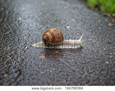 big snail crawling on the asphalt pavement, Moscow