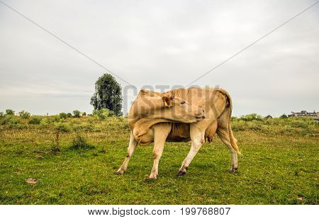 Beige colored cow licks its hind paw with its tongue while standing in the grass on a cloudy day in the Dutch summer season.
