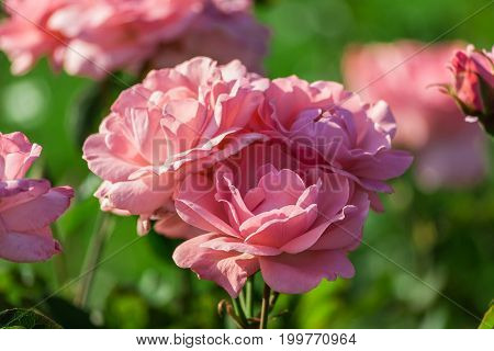 light pink rose close-up in full bloom growing in the garden in summer, sunlight, a large flower, three pieces on a bush,