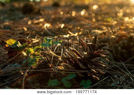 Pine cone illuminated by the sun on the ground against the background of needles