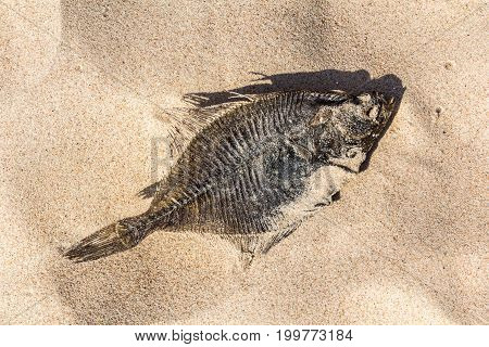 The dried flounder is lying in the sand on the Baltic Sea coast nature background