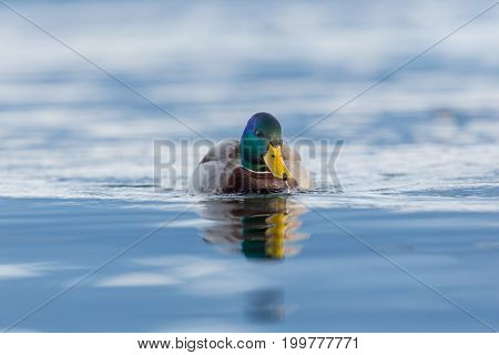 Front View Portrait Male Mallard Duck (anas Platyrhynchos) Swimming