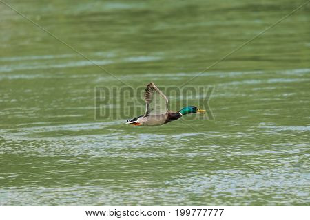 Flying Male Mallard Duck (anas Platyrhynchos) Over Water Surface