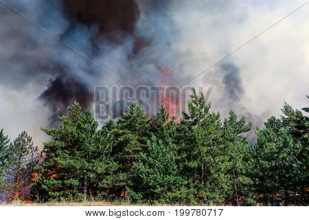 Forest fire. Using firebreak for stoping wildfire.