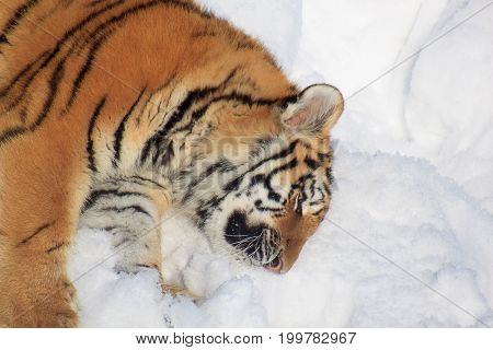 Wild siberian tiger rests on white snow. Animals in wildife.