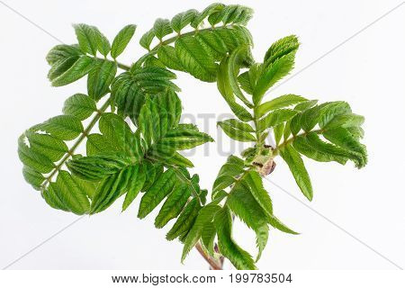 Young green twigs of mountain ash isolated on white background. Spring blooming.