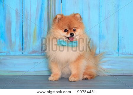 Beautiful pomeranian puppy sits near the wood wall in a blue bow tie. Pet animals.