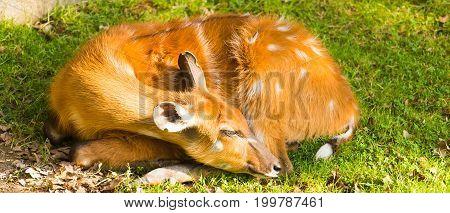 Portrait of lying Roe deer. Roe deer in forest