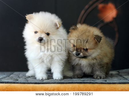 Two Cute Adorable Pomeranian Puppies