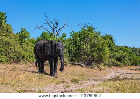 Elephant - single. Watering large animals in the Okavango Delta. Fascinating journey to Africa. Chobe National Park in Botswana