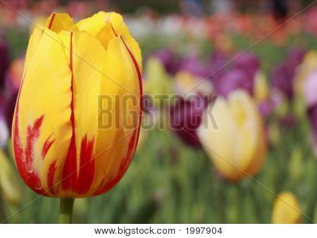 Tulipcloseup