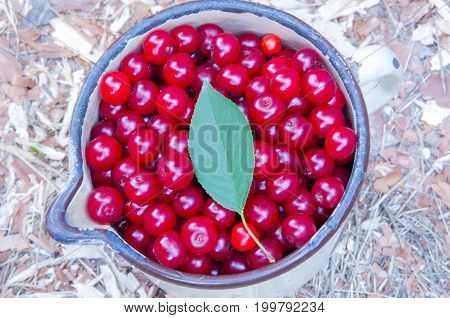 The old enameled metal cup is filled with ripe cherries.