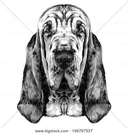 the head of the dog breed Bloodhound vector graphics sketch black and white