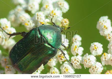 Green Beetle (cetonia Aurata) On A White Flower, Macro