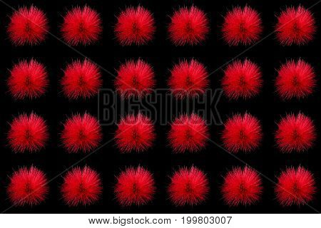 Collection of red powder puff flowers or Calliandra haematocephala Hassk isolated on black background
