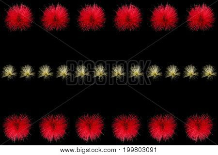 Collection of red powder puff flowers or Calliandra haematocephala Hassk isolated on black background with row of small yellow powder puff flowers is in the middle