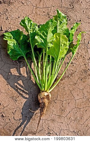 sugar beet with leaves on field soil background