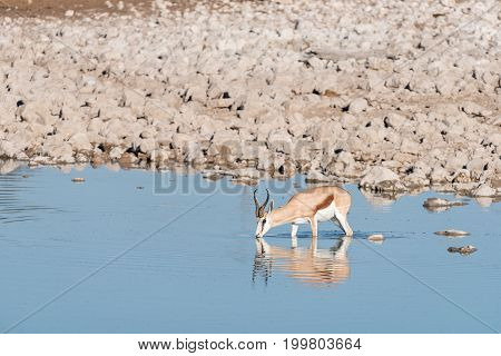 A lonely springbok (Antidorcas marsupialis) drinking water in a waterhole in Northern Namibia