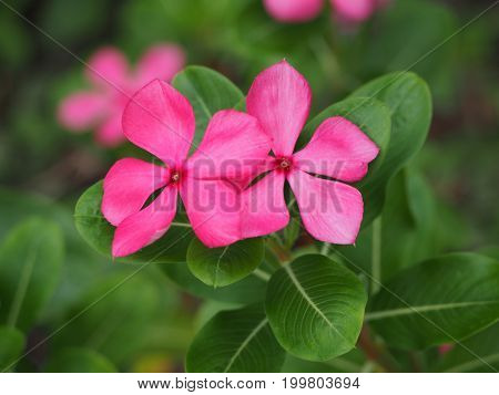 Beautiful two of pink madagasca or vinca flower.